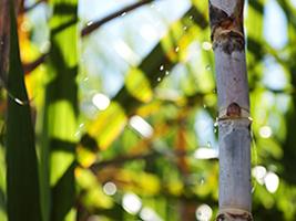 Safra global de açúcar 2015/16 será deficitária