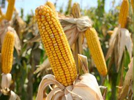 Colheita do milho na reta final