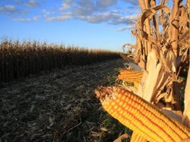 Colheita de milho em Mato Grosso avança para 21,4% da área, aponta Imea
