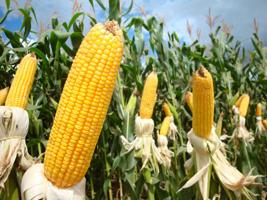 PR: mesmo com chuvas, colheita do milho segue adiantada