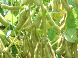 Apesar de clima melhor, lavouras de soja não avançam nos EUA