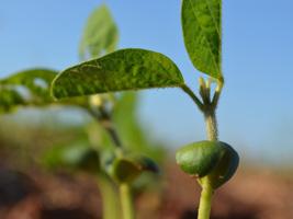 Safra 2015/16: Céleres estima aumento de 2,3% na área plantada de soja