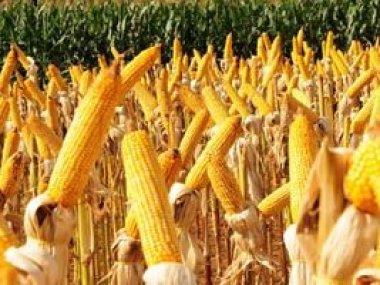 Embaixadores conhecem potencialidade do milho em MT