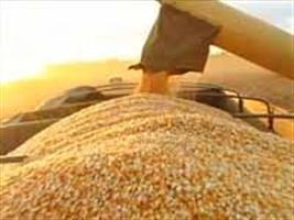Maior movimentação no mercado de milho