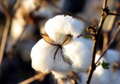 Mato Grosso deve ampliar em 2,2% área plantada com algodão