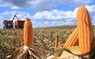 Milho: Colheita no Paraná chega a 52% da área