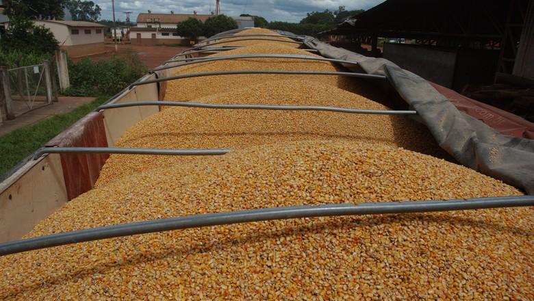 Colheita do milho chega perto da metade da área em Mato Grosso
