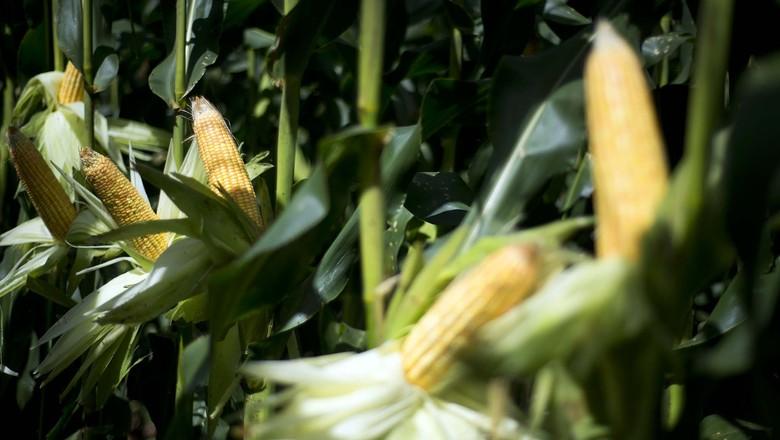 Produção de milho e soja em Illinois (EUA) deve cair 14% ante 2014
