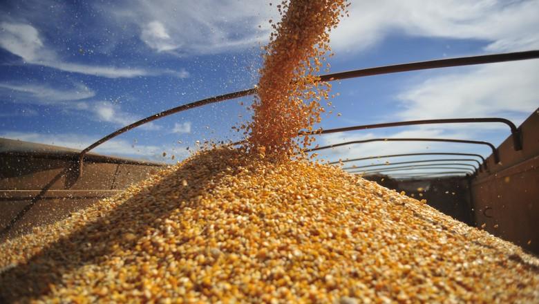 Colheita de milho chega a quase 80% da área em Mato Grosso