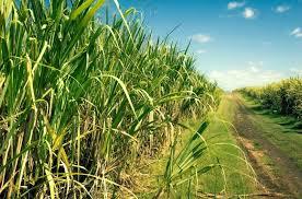 Unica vê menos açúcar e mais etanol no Brasil na safra 2015/2016