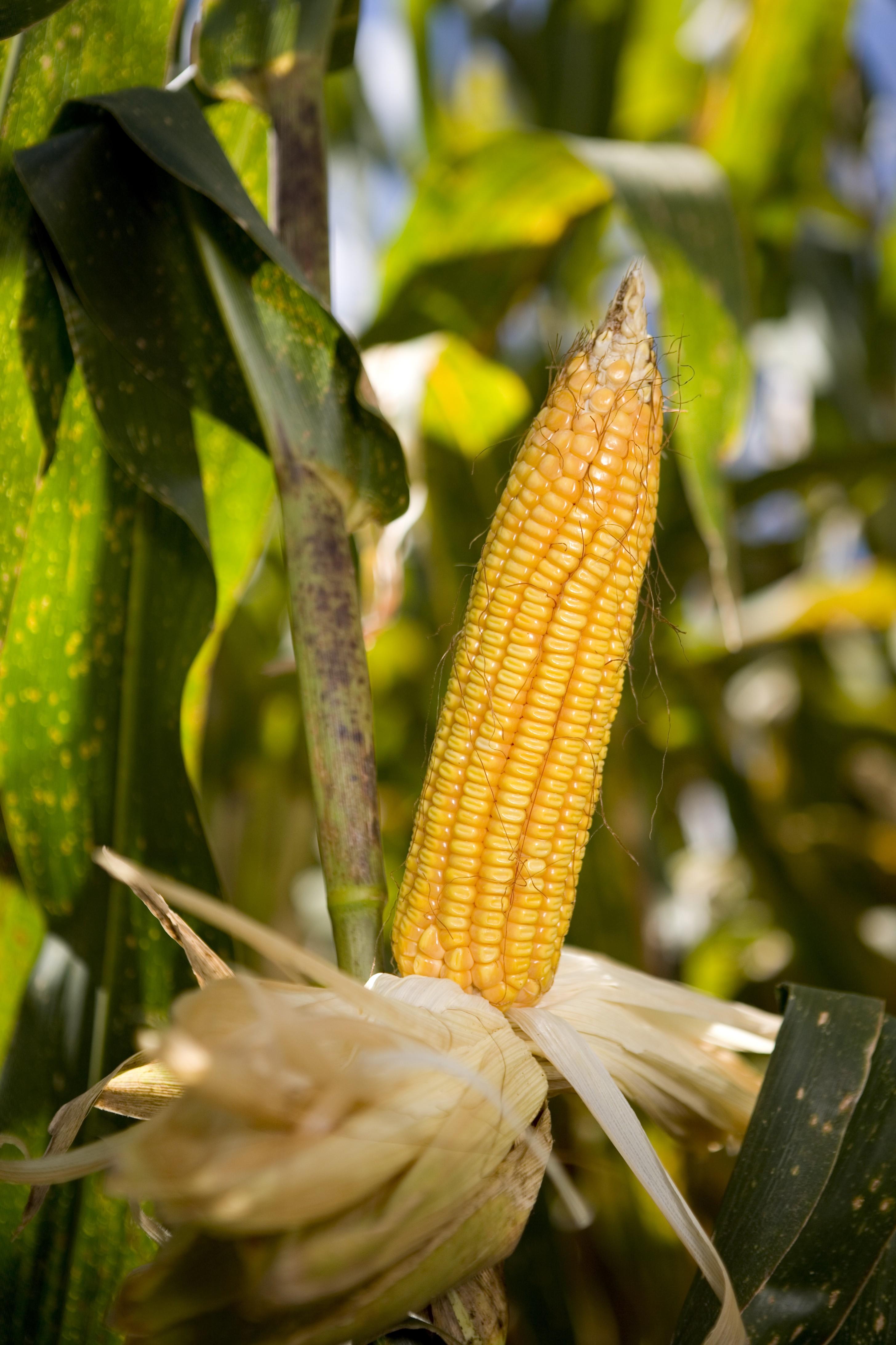 Chuvas provocam perdas em área de produção de milho, diz Cocamar